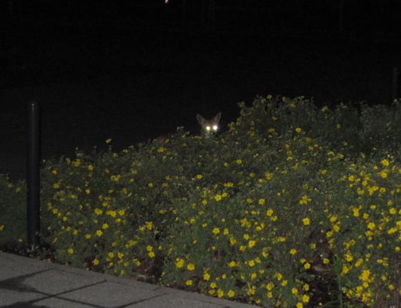 Hinweis: Füchse leuchten!