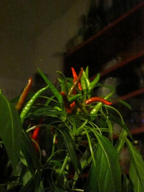 Ein Foto unserer Fuego-Chilis